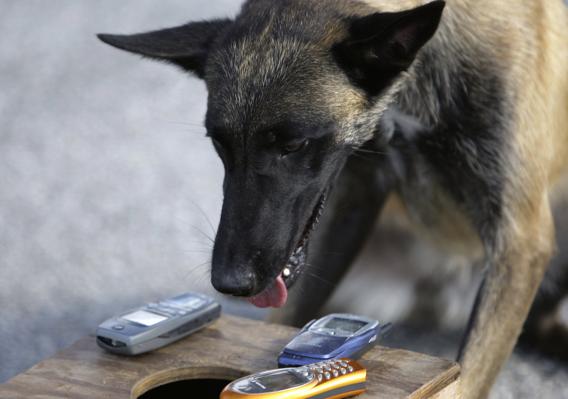 Razor, a phone-sniffing dog, poses with phones he found hidden in a box during a demonstration at the Broward Correctional Institution in Ft. Lauderdale, Fla. in 2008.